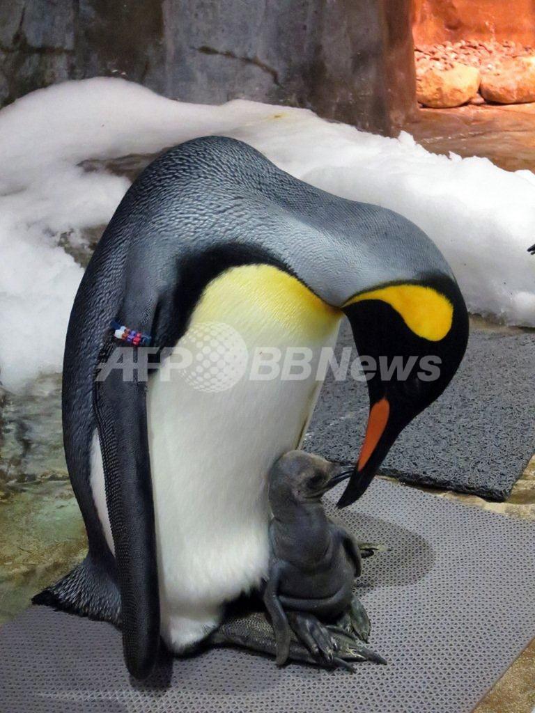 初のオウサマペンギンの赤ちゃん誕生、香港海洋公園