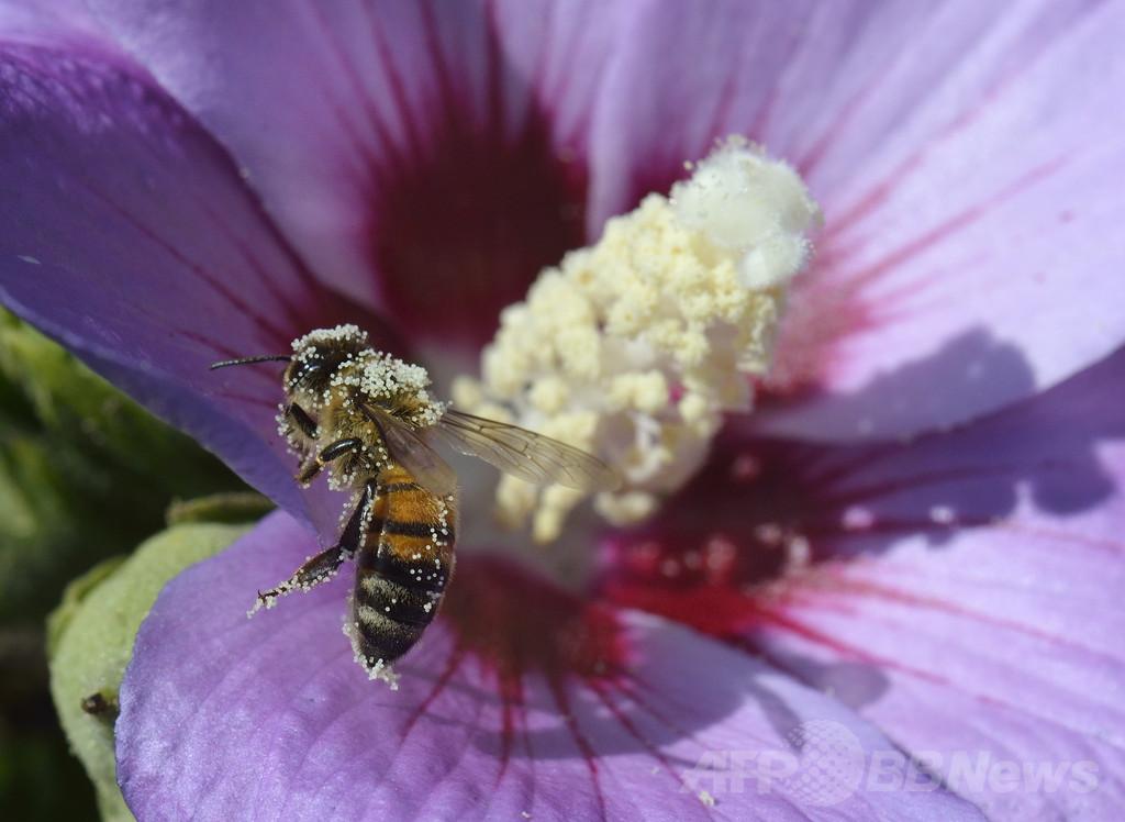 「花粉はハチミツの成分」、欧州議会で合意 GMO促進の恐れも