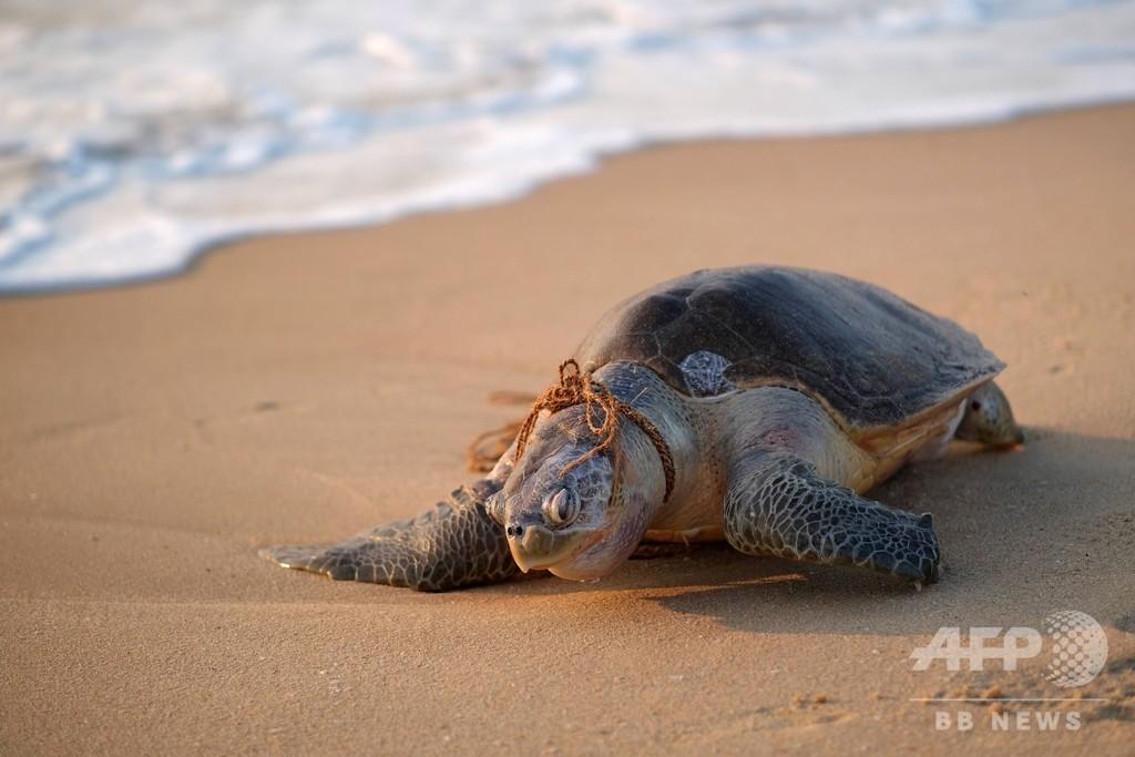 ヒメウミガメ死骸、首にロープ巻き付いた状態で発見 インド南部