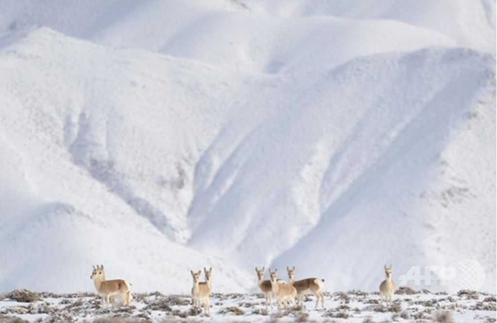 雪景色に現れた「高原の精霊」 甘粛省のチベットカモシカ