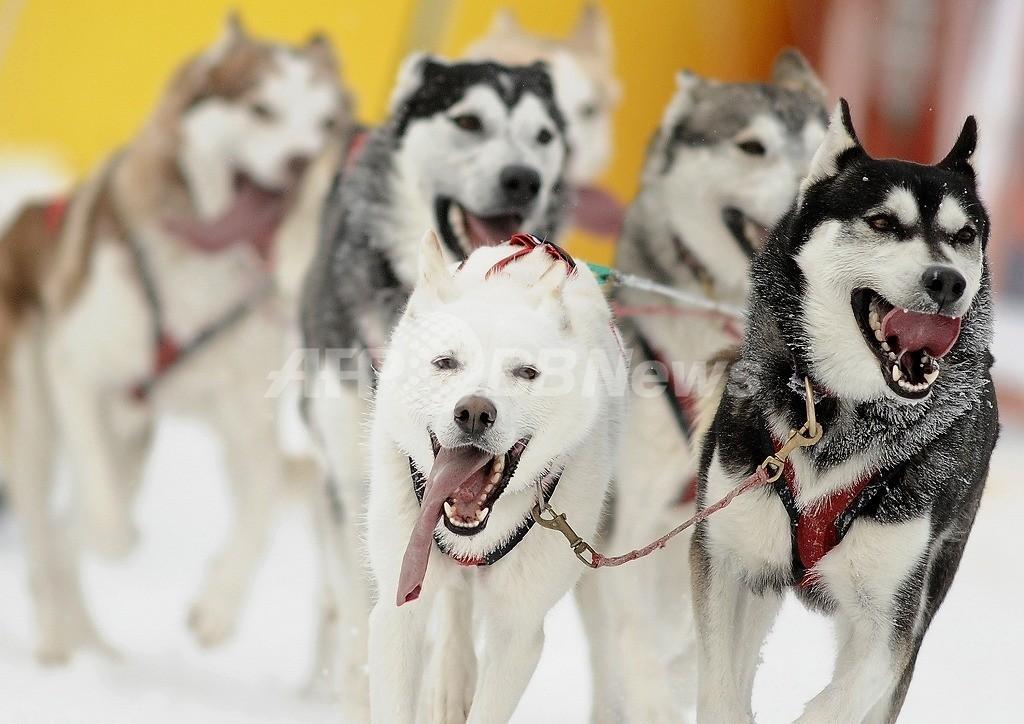 そり犬100頭殺害で特別捜査班設置、カナダBC州
