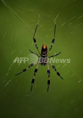 口説き手段に「死んだふり」、クモの交尾成功率倍増、英誌
