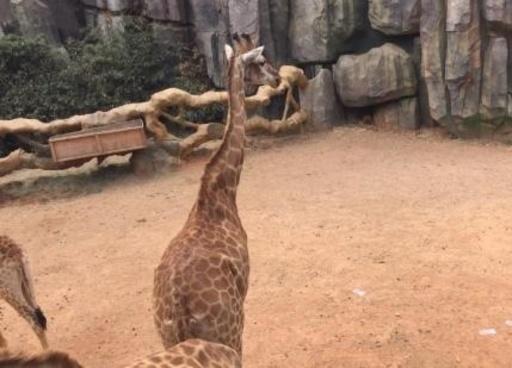 太っ腹!? キリン舎に大量の現金まかれる 雲南の野生動物園
