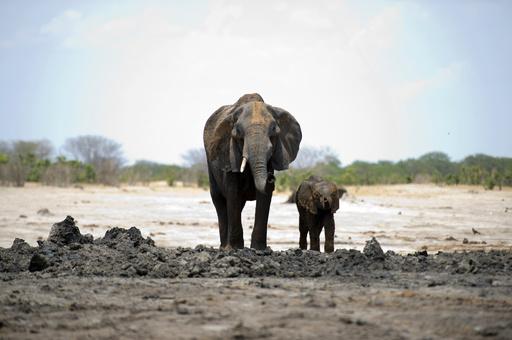 救出のため仲間が撃ったゾウの下敷きに、ハンター死亡 ジンバブエ