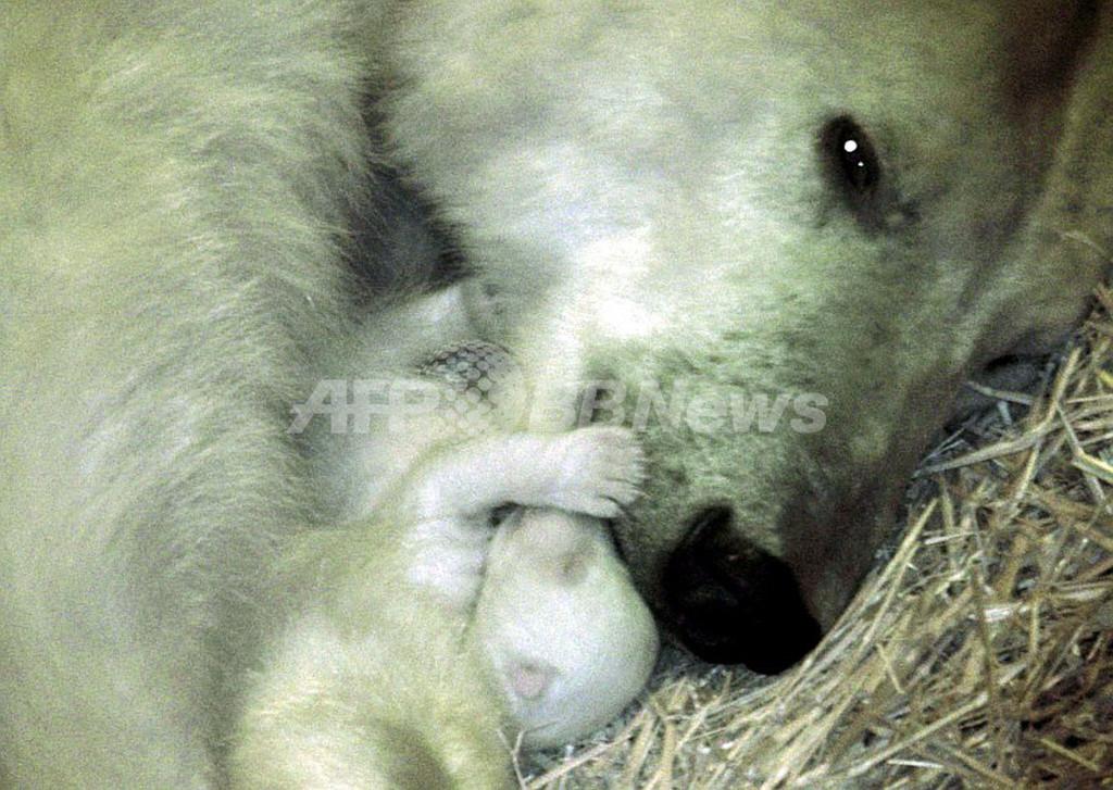 オーストリアで双子のホッキョクグマ誕生