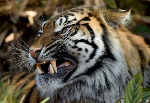 スマトラトラに襲われ男性死亡、1か月で3度目 インドネシア