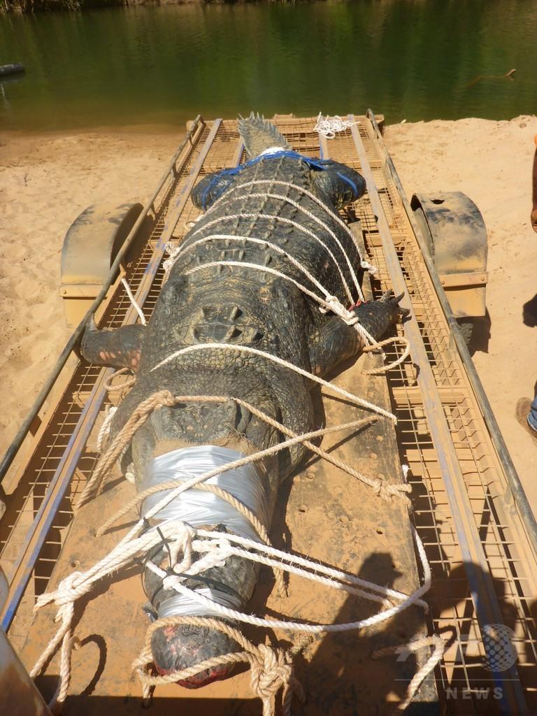 体重600キロの巨大イリエワニ、豪で8年の追跡の末ついに捕獲