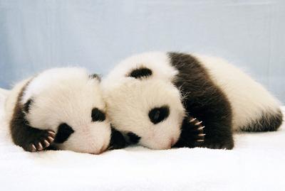 日本で生まれたパンダ、双子の赤ちゃんお披露目 - 和歌山