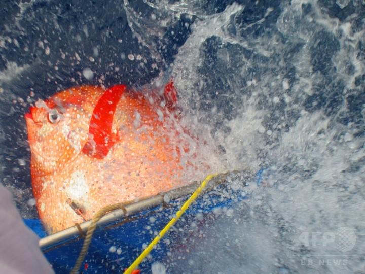 科学史上初の「恒温魚」、深海の生存競争で優位に 米研究
