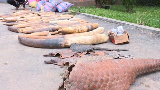 動画:象牙とセンザンコウのうろこ計1トン超押収、コートジボワール