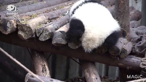 動画:【パンダフル】届かない…短い脚に悩む赤ちゃんパンダ