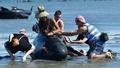 「人間の鎖」むなしく、新たにクジラ200頭打ち上げ NZ