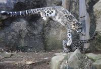 ユキヒョウ赤ちゃんすくすく成長 多摩動物公園で公開