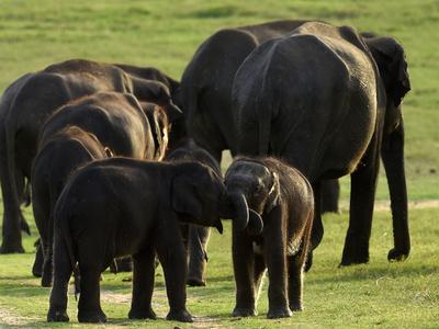ゾウ7頭の死骸、スリランカの沼地で発見 死因は水草か