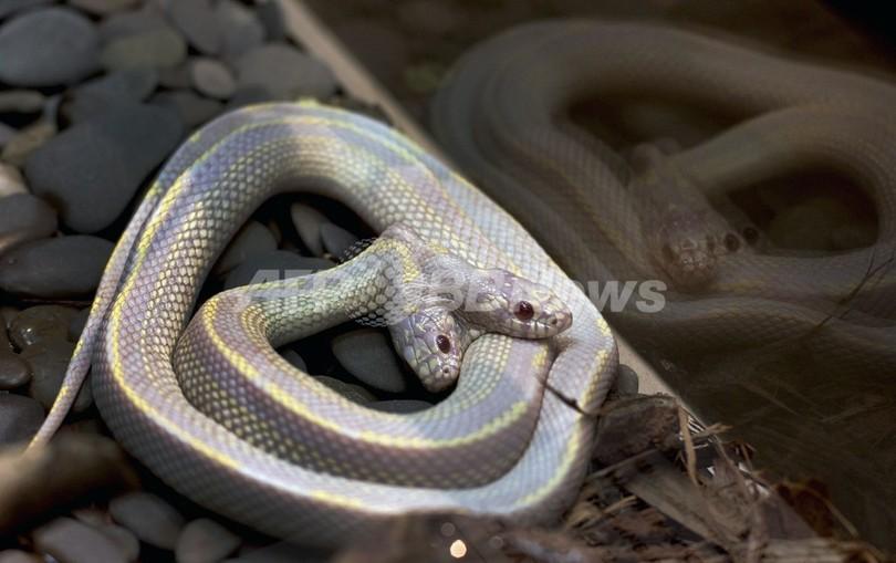 双頭の白蛇、モスクワ動物園で公開