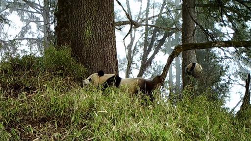 動画:赤外線カメラが捉えた野生パンダの親子タイム 中国・四川省
