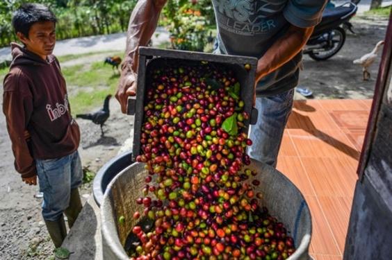 コーヒー種の60%が絶滅の危機、行動すべきは「今」