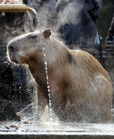 ゆず湯を楽しむカピバラ、埼玉の動物園