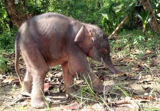 絶滅危惧種のボルネオゾウ、70発撃たれ牙奪われる