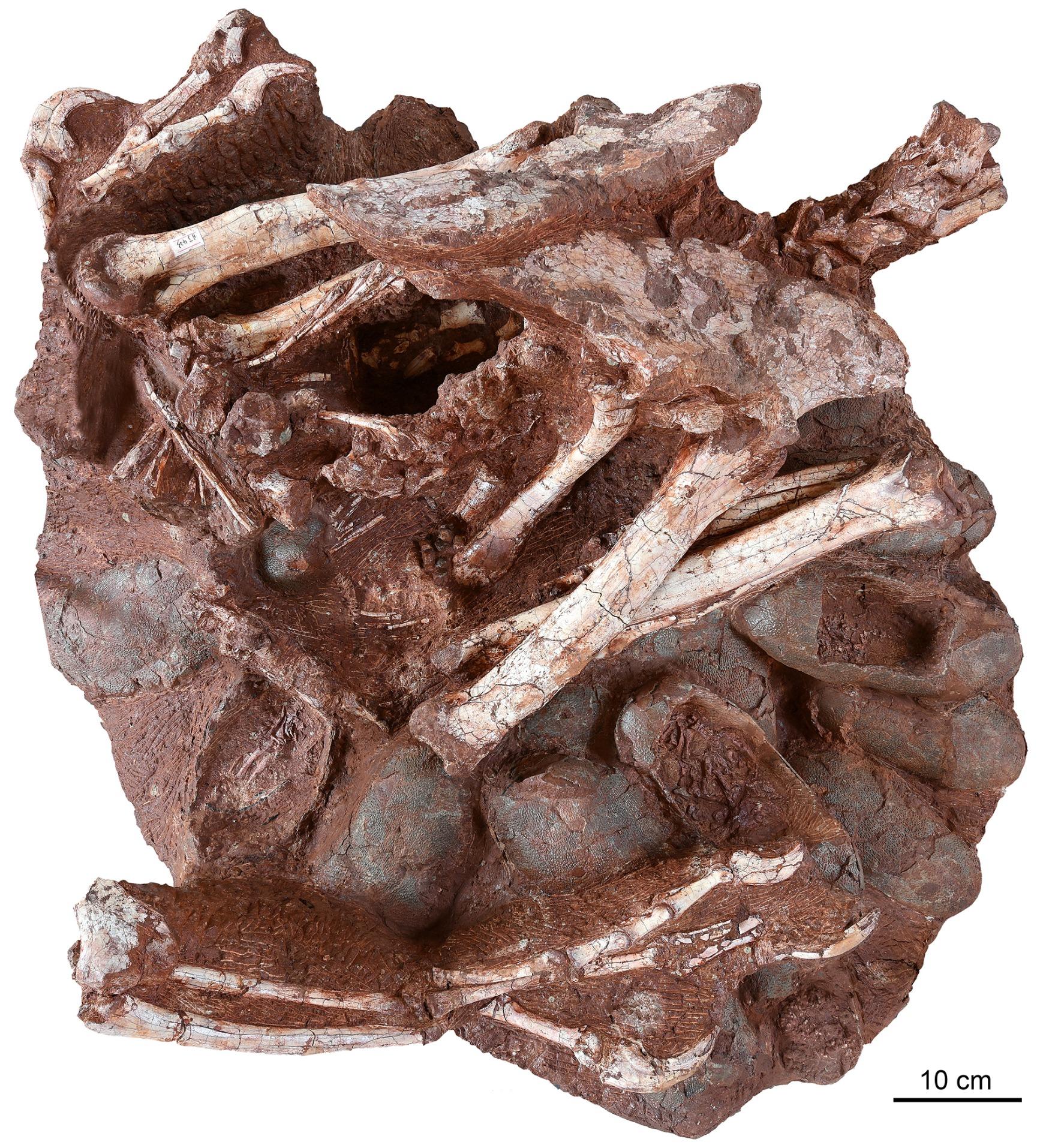 中国で7千万年前の抱卵する恐竜の化石見つかる