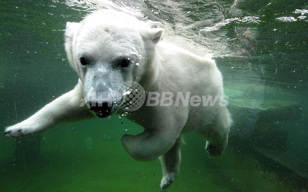 シロクマのウィルベア君、寒中水泳を楽しむ