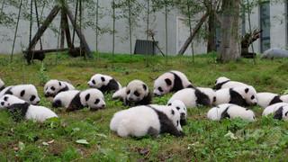中国で「ジャイアントパンダ国立公園」設置へ 繁殖促進目指す