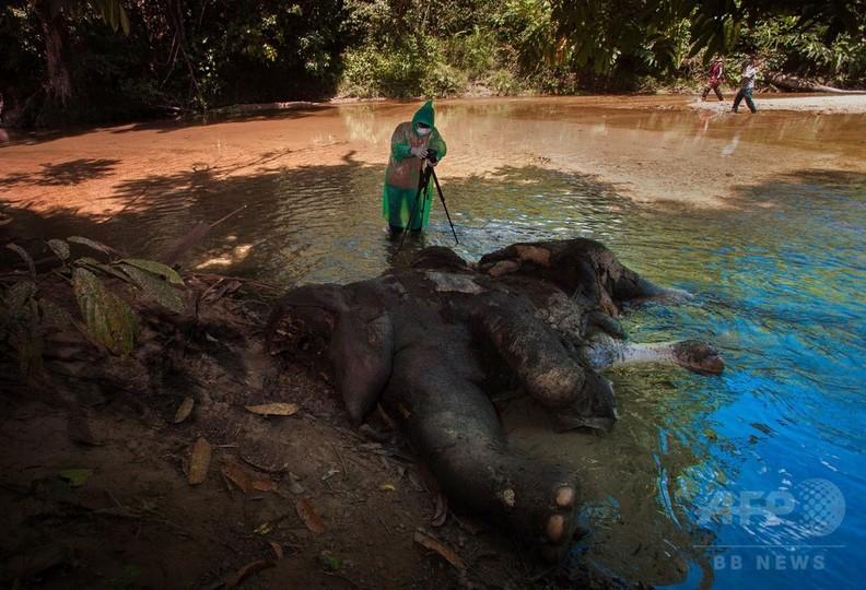 絶滅危惧のスマトラゾウ2頭、牙のない死骸発見 インドネシア