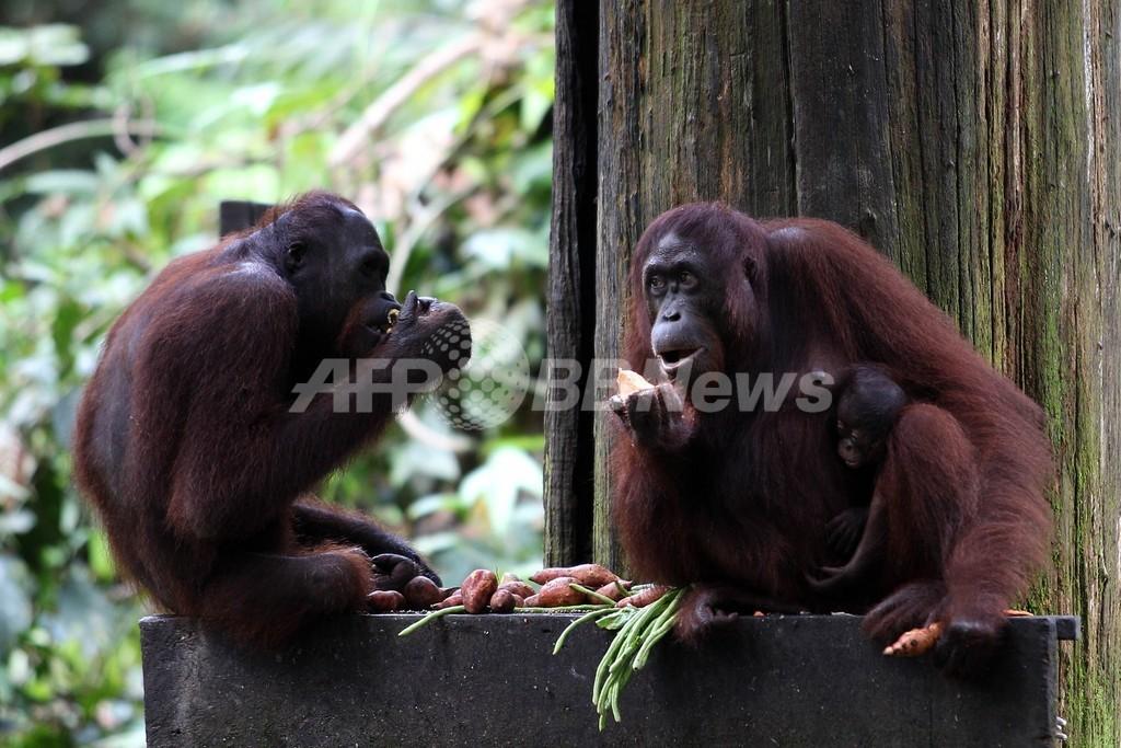 餌で太りすぎたオランウータン、ダイエット課される マレーシア