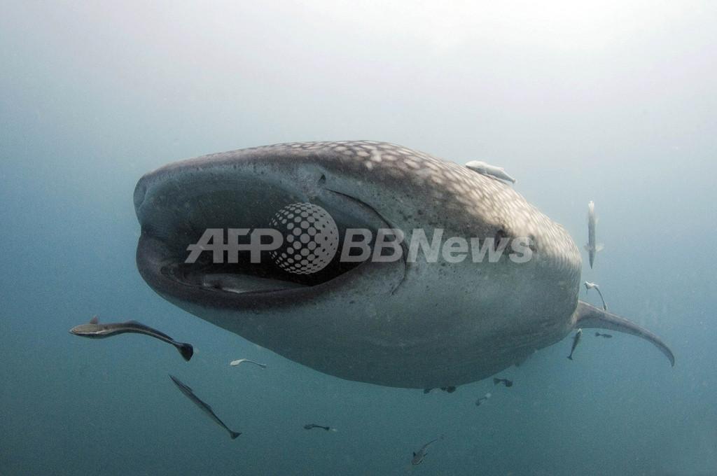 ジンベエザメへの餌やりで議論沸騰、フィリピン
