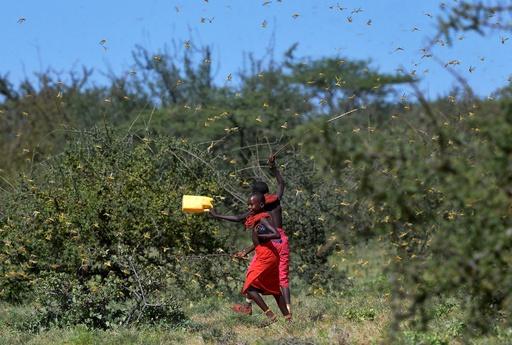 バッタの大群、ウガンダに襲来 FAOは「蝗害」を警告