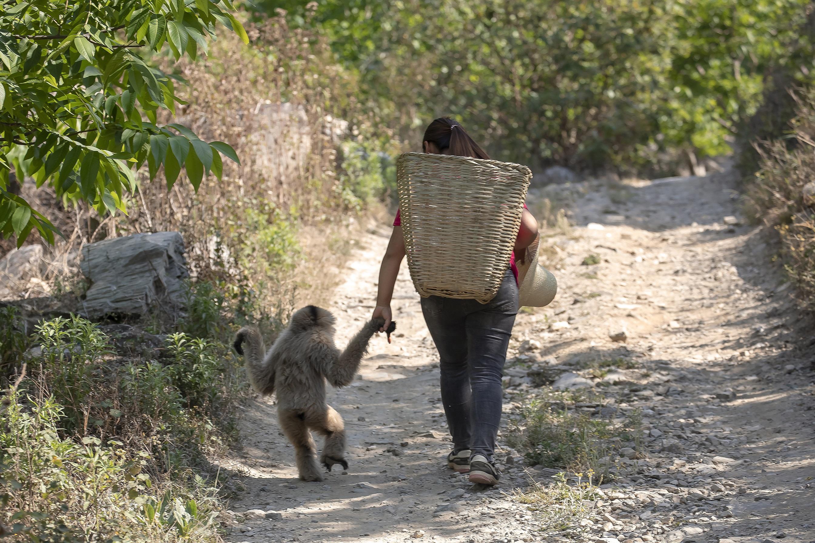 村人と仲良し、感電した希少動物のカンムリテナガザル回復へ 雲南省