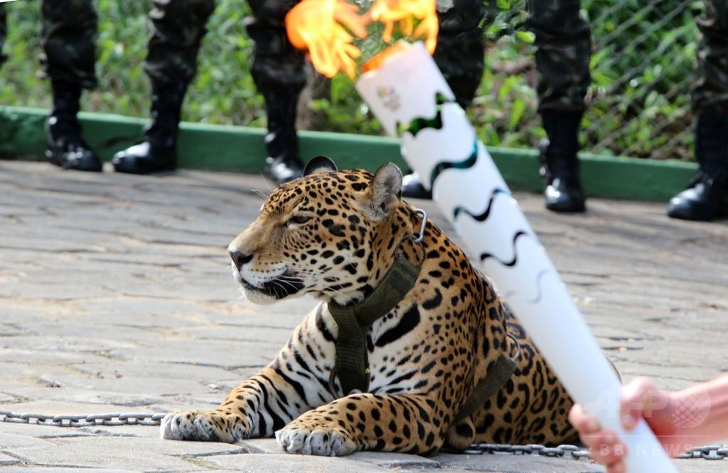 五輪の聖火行事に参加したジャガー逃走、兵士が射殺 ブラジル
