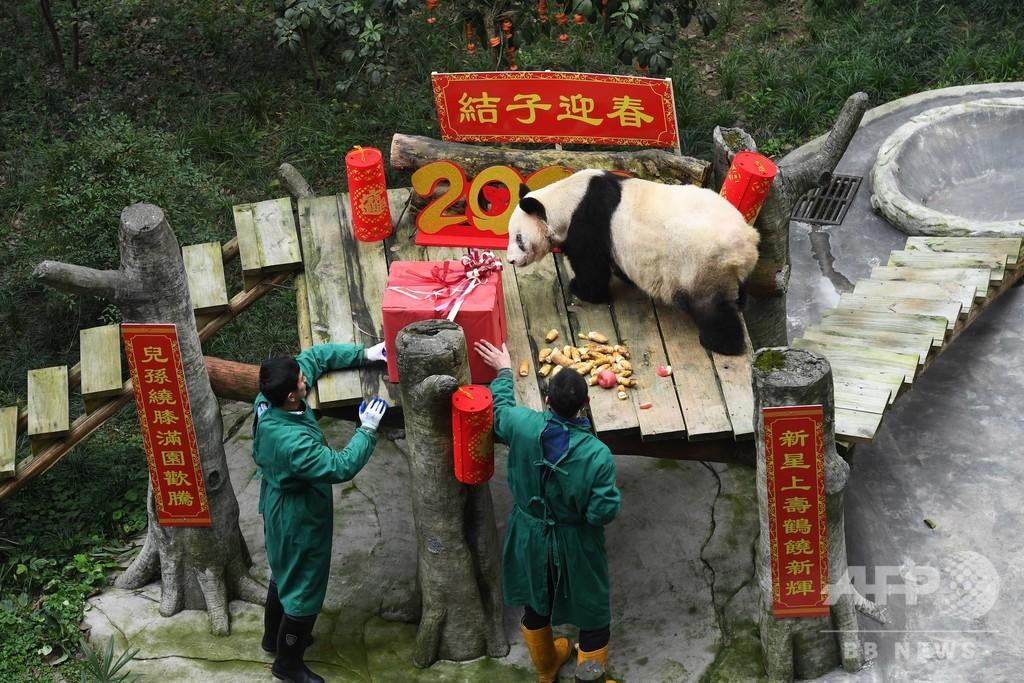 幼い双子パンダ、ひいおばあちゃんへ春節のあいさつ 中国・重慶