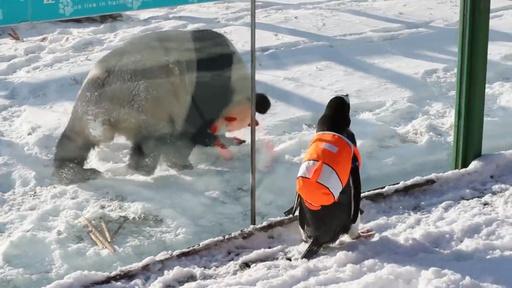 動画:ペンギンがパンダのお宅訪問 中国・黒竜江省