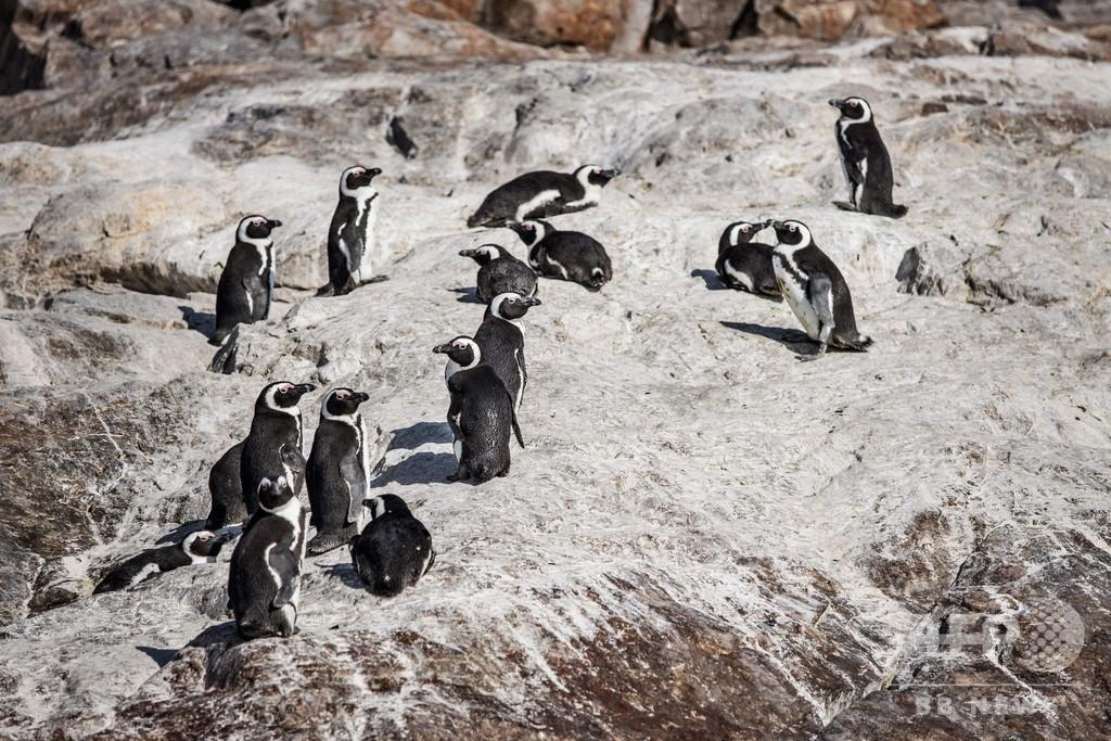 希少ペンギン繁殖地そばに海上給油基地、「わかしお」事故で懸念高まる 南ア