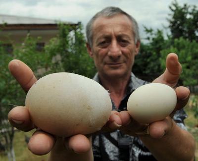 ギネス記録なるか、8.2センチの巨大卵