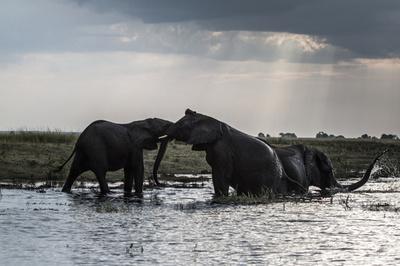 ボツワナでゾウ90頭の死骸発見、アフリカ最悪規模の密猟被害か
