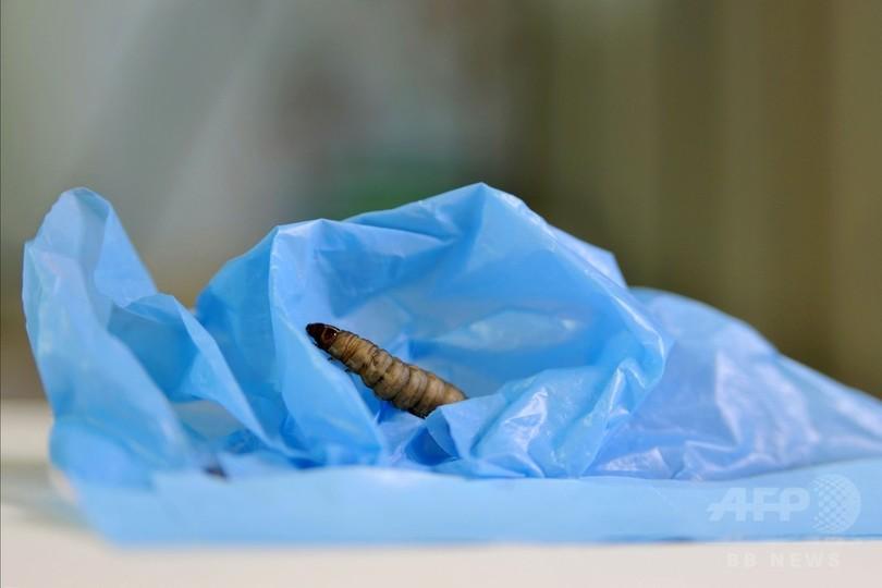 レジ袋食べるガの幼虫、プラスチックごみ問題に有用か 研究