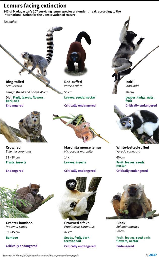 マダガスカルのキツネザル、ほぼ全種が「絶滅の危機」 レッドリスト