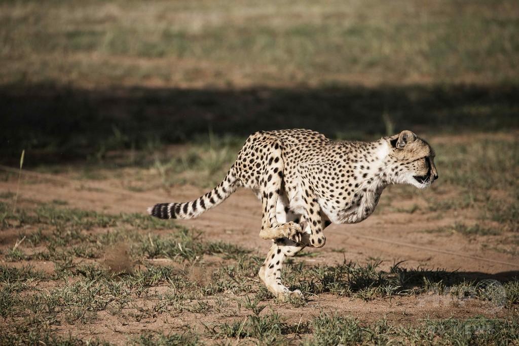 「最大の動物が最速でない」理由を解明か、研究
