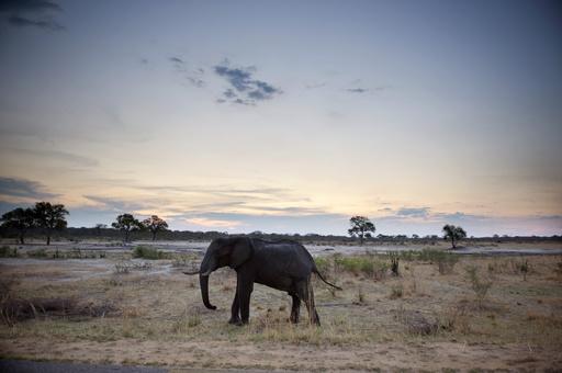 密猟者がゾウ81頭を毒殺、ジンバブエ当局発表