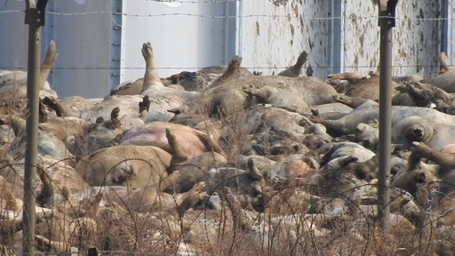 アフリカ豚コレラ、殺処分の血で川が赤く染まる…韓国