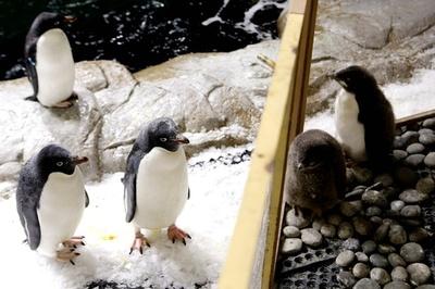 うちの子は元気かな? アデリーペンギンの赤ちゃんすくすく成長 メキシコ
