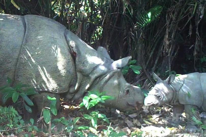 絶滅危惧種ジャワサイの子ども3頭撮影、インドネシア