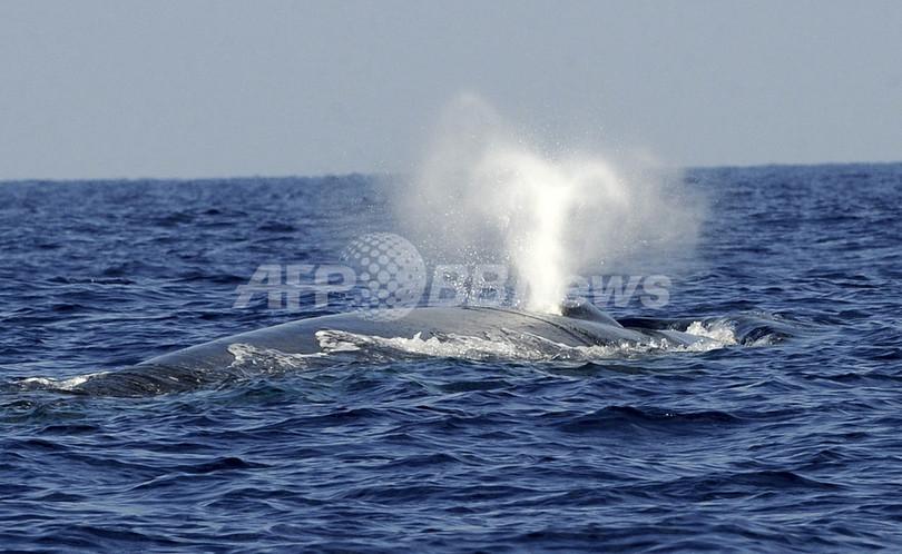 シロナガスクジラの「歌声」を追跡、南極海で位置特定に初成功