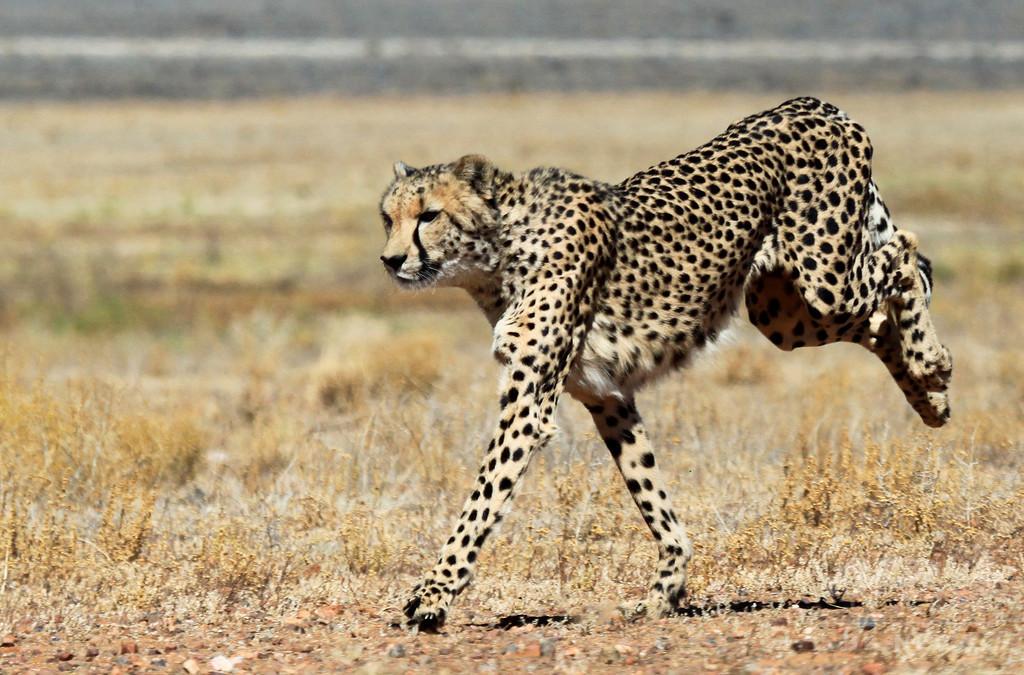 チーターの個体数減少、人間の活動に起因か 研究