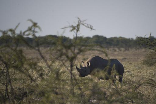 ナミビア、クロサイ狩猟ライセンスのオークションを今年も実施