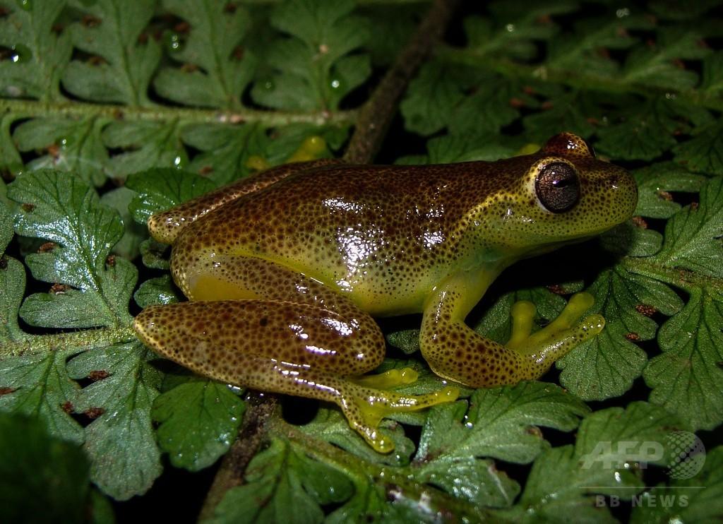 新種の小さなカエル、ベネズエラ・コロンビア国境の山脈で発見