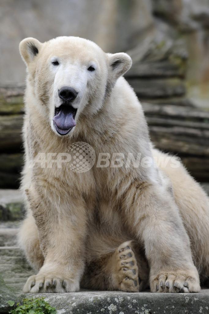 元祖・人工飼育クマのクヌート、立派に成長