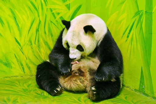 パンダの赤ちゃんに「国慶」と命名 広州の「奇跡の動物園」